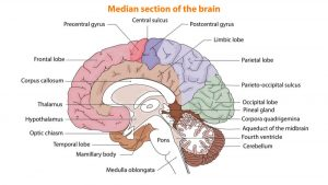 median section of the brain chart